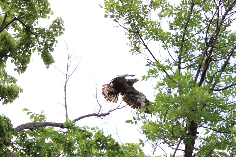 Here's a golden eagle flying .  Photo Credit: Greg Halloran.