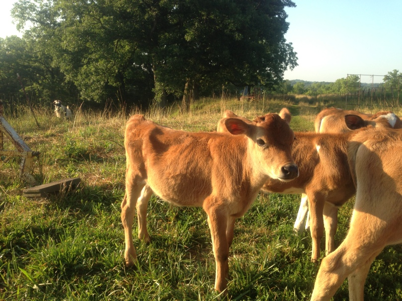 Calves on Paulette's farm.