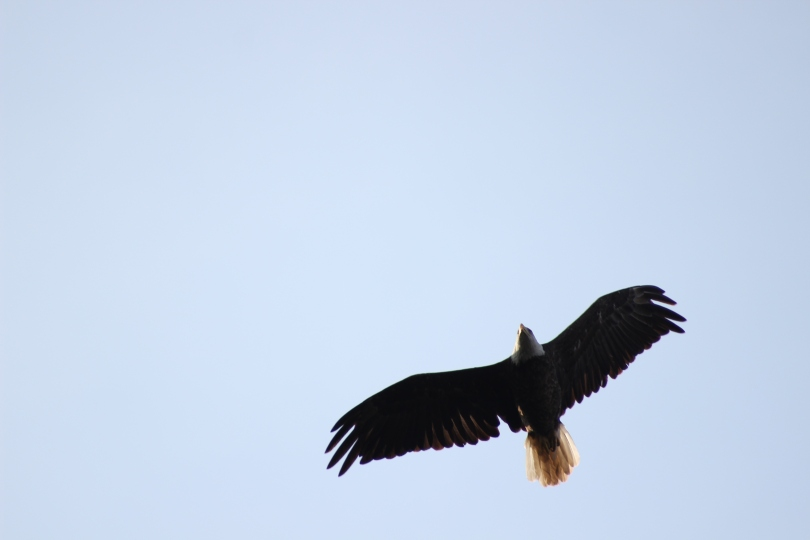 Greg's photo of a bald eagle - Happy 4th of July